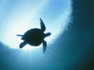 A Silhouetted View of an Endangered Loggerhead Sea Turtle by Nick Caloyianis