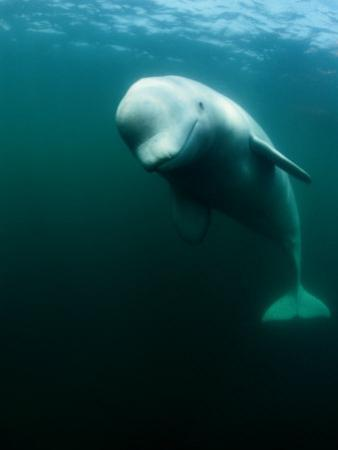 Beluga Whale, St. Lawrence River by Nick Caloyianis