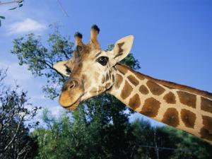 Close View of a Giraffe Looking Down into the Camera by Nick Caloyianis