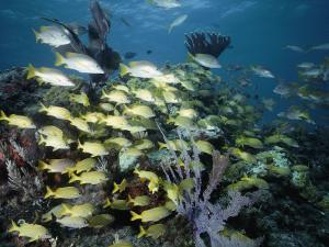 French Grunts and Silvery Snappers with Yellow Tails Circle Around Coral by Nick Caloyianis