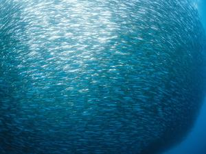 Huge School of Anchovies Photographed off the Coast of Argentina by Nick Caloyianis