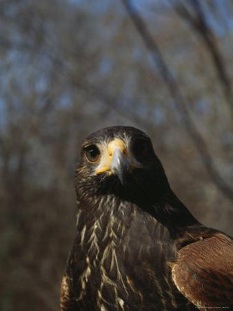 Portrait of a Harriss Hawk by Nick Caloyianis
