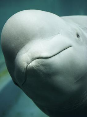 The Friendly Face of a Beluga Whale in Extreme Close-up by Nick Caloyianis