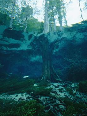 View of a Tree Trunk Underwater in Blue Springs, Florida by Nick Caloyianis