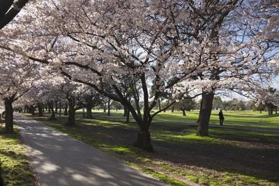 Flowering Cherry Trees in Blossom Along Harper Avenue