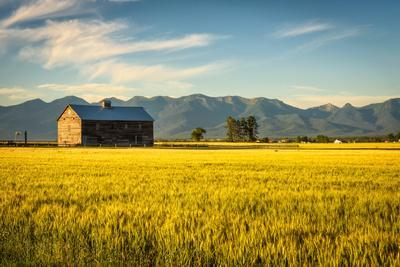 Summer Sunset with an Old Barn and a Rye Field in Rural Montana with Rocky Mountains in the Backgro