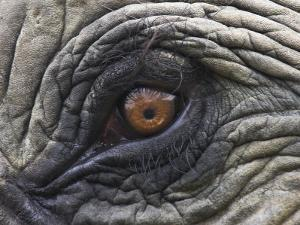 Close up of Indian Elephant Eye,(Domestic), Kaziranga National Park, Assam, India by Nick Garbutt