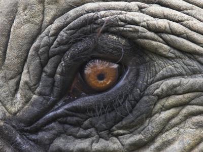 Close up of Indian Elephant Eye,(Domestic), Kaziranga National Park, Assam, India