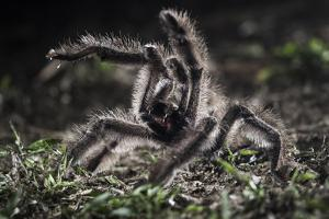 Colombian Pink-Toed Tarantula (Avicularia Metallica) in Defensive Posture by Nick Garbutt