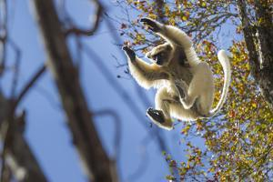 Golden-Crowned Sifaka (Propithecus Tattersalli) Leaping Through Forest Canopy by Nick Garbutt