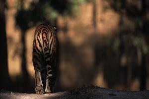 Rear View of Male Bengal Tiger Walking {Panthera Tigris Tigris} Kanha Np, India by Nick Garbutt