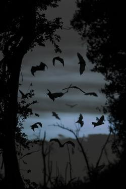 Straw-Coloured Fruit Bats (Eidolon Helvum) Returning to Daytime Roost at Dawn by Nick Garbutt
