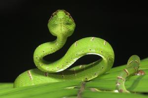 Wagler's Pit Viper (Tropidolaemus Wagleri) Resting in Vegetation. Danum Valley, Sabah, Borneo by Nick Garbutt