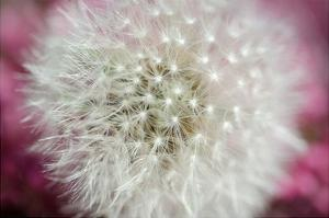 Dandelion on a rose by Nick Jackson
