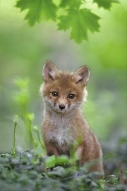 Red Fox Pup by Nick Kalathas