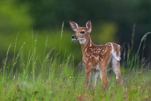 Spring Fawn by Nick Kalathas