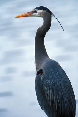 A Great Blue Heron by Nick Norman
