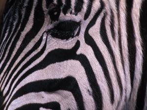 Detail of a Plains Zebra's Face by Nick Norman