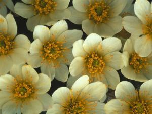 Detail of Flowers, Mountain Aven, Nunavut, Canada by Nick Norman