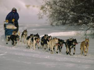 Dogs Pull a Sled across Snow by Nick Norman