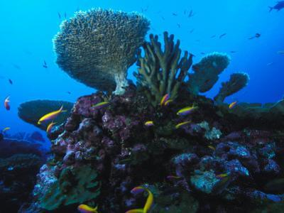 Fairy Basslets and Hard Coral, Phoenix Islands, South Pacific by Nick Norman