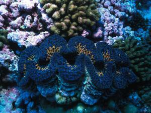 Giant Clam Amid Colorful Coral by Nick Norman