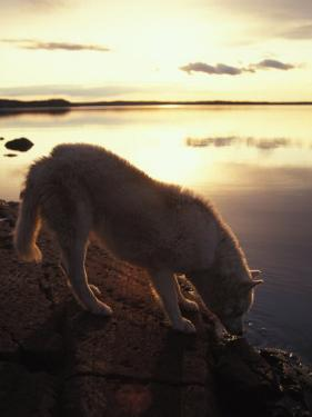 Husky Approaches the Shore, Yellowknife, Northwest Territories, Canada by Nick Norman