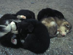 Husky Puppies Curled Up Sleeping by Nick Norman