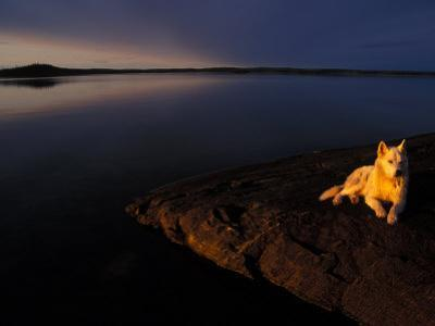 Husky Reclines on the Shore by Nick Norman