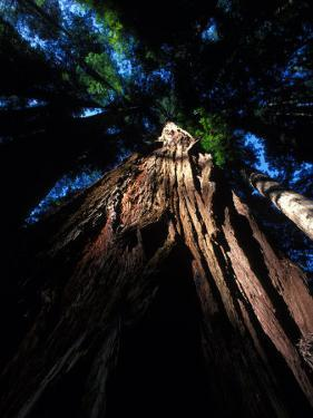 Looking Up at a Sierra Redwood Tree by Nick Norman