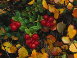 Lowbush Cranberries in the Yukon, Canada by Nick Norman