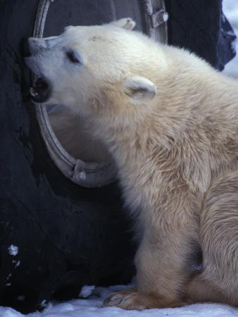 Polar Bear Bites at a Tire by Nick Norman