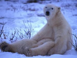 Polar Bear Sits in the Snow by Nick Norman