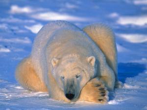 Polar Bear (Ursus Maritimus). Churchill, Manitoba Canada by Nick Norman
