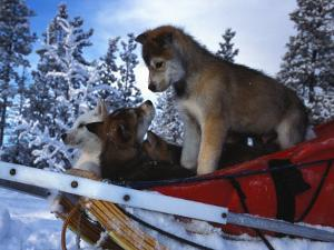 Siberian Husky Puppies Play on a Snow Sled by Nick Norman
