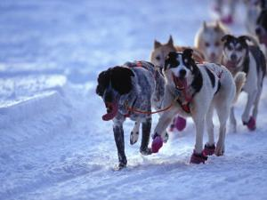 Team of Sled Dogs Run across the Snow, Yukon Territory, Canada by Nick Norman