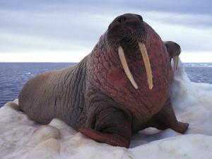 Two Atlantic Walrus Bask on Ice by Nick Norman