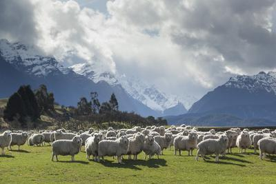 Sheep and Mountains Near Glenorchy, Queenstown, South Island, New Zealand, Pacific