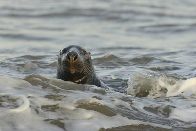 Alert Grey Seal (Halichoerus Grypus) Spy Hopping at the Crest of a Wave to Look Ashore