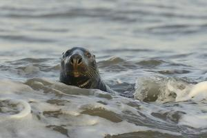 Alert Grey Seal (Halichoerus Grypus) Spy Hopping at the Crest of a Wave to Look Ashore by Nick Upton