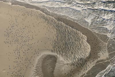Dense Flock of Great Cormorants (Phalacrocorax Carbo) Resting on a Sandbank at Scroby Sands