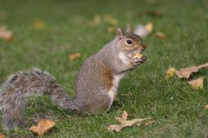 Grey Squirrel (Sciurus Carolinensis) Biting into a Peach Stone Left by a Tourist by Nick Upton