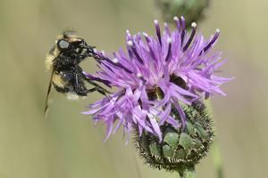 Hoverfly (Volucella Bombylans Var. Plumata) Visiting a Greater Knapweed Flower (Centaurea Scabiosa) by Nick Upton