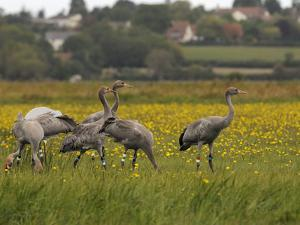 Juvenile Common Cranes (Grus Grus) Released by Great Crane Project on Somerset Levels, England by Nick Upton