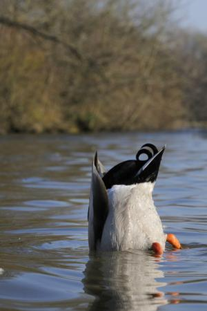 Mallard Drake (Anas Platyrhynchos) Upended Dabbling for Food in Lake, Wiltshire, England, UK by Nick Upton