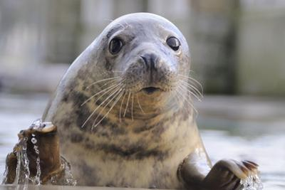 Rescued Grey Seal Pup (Halichoerus Grypus) by Nick Upton