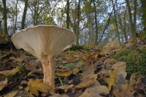 Trooping Funnel (Monk's Head Mushroom) (Clitocybe) (Infundibulicybe Geotropa) by Nick Upton
