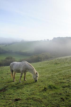 Welsh Mountain Pony (Equus Caballus) Grazing a Hillside Meadow on a Foggy Autumn Morning