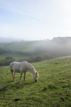 Welsh Mountain Pony (Equus Caballus) Grazing a Hillside Meadow on a Foggy Autumn Morning by Nick Upton
