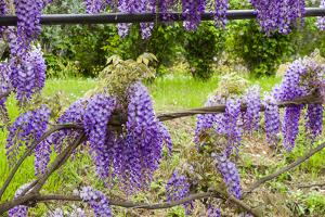 Arbor of Wisteria in Bloom, Firenze, Tuscany, Italy by Nico Tondini